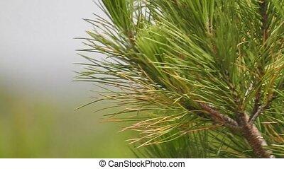 Needles Of Plant Or Bush