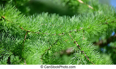 Needles of young larch in spring close-up