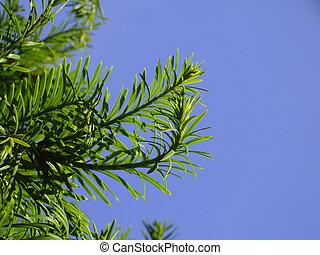 Needles or leaves?