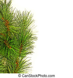 Needles square - Traditional natural ever green pine tree...