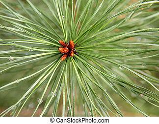 needles - Rain after a long needle pine.