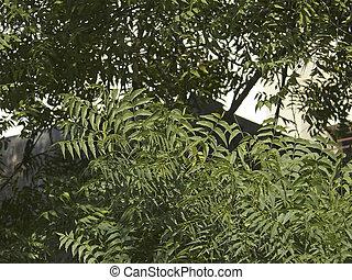 Neem, Azadirachta indica A. Jus