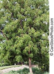Neem (Azadirachta indica) tree