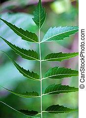 Neem leaves - Green neem leaves- Azadirachta indica