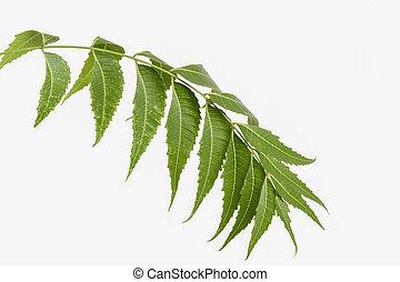 Neem (Margosa) leaves - Neem leaves on white background