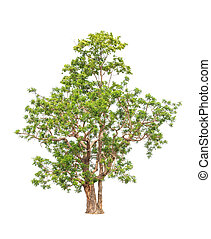 Neem plant (Azadirachta indica), tropical tree in the ...