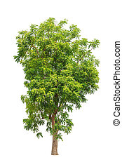 Neem plant (Azadirachta indica), tropical tree in the...