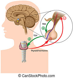 Negative feedback in the pituitary thyroid axis, eps10