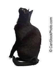 negro, aislado, gato