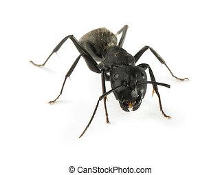 negro, hormigas
