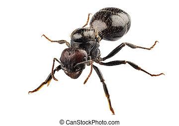 negro, jardín, hormiga, especie, lasius, níger