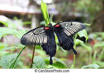negro, mariposa