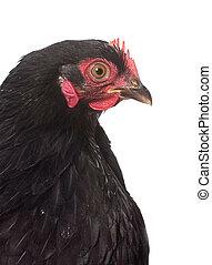 negro, pollo, pekin