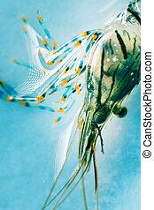negro, sea., camarón, (palaemon, rockpool, elegans), costa, meridional