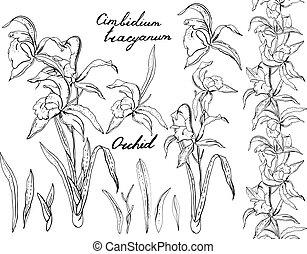 negro y blanco, orquídea, cimbidium