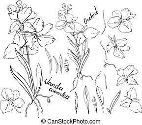 negro y blanco, orquídea, vanda