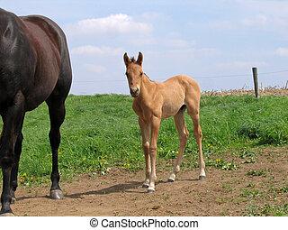 negyeddolláros ló, csikó