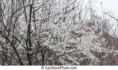 neige, arbres, fruit, fond, fleurir, tomber