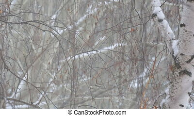 neige, branches, bouleau, tomber