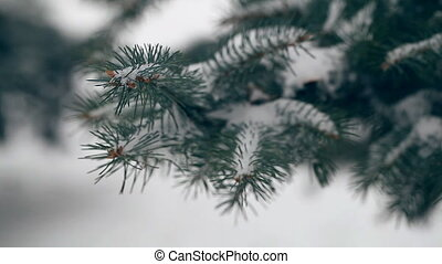 neige-couvert, arbre hiver, sapin