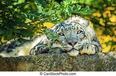 neige, leopard's, reposer