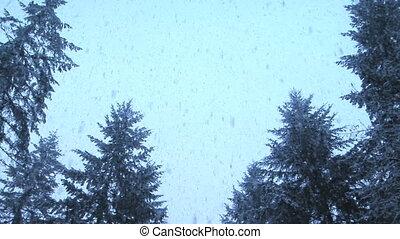 neige, tomber, sur, plantes à feuilles persistantes