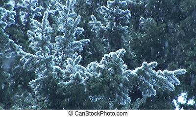 neige, tomber, sur, plantes à feuilles persistantes, ralenti