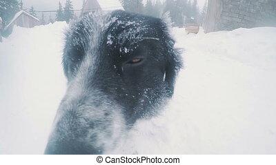 neiges, chien parasite