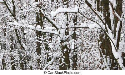 neigeux, forêt, arbres., hiver
