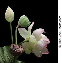 Lotus flower - Nelumbo nucifera Lotus flower plants isolated...