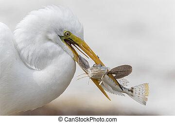 nemes kócsag, nagy, florida, fish, -, fertőző, closeup