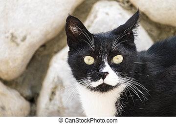 nemes, macska, fekete, kihallgatás, fehér, fül