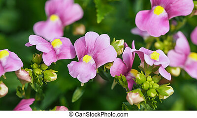 nemesia, flowers., cierre, arriba.