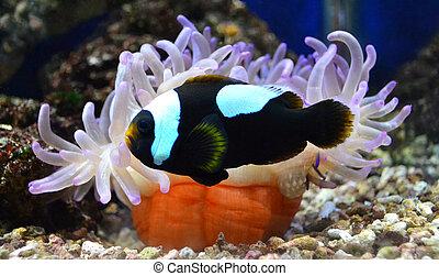 nemo, fish, et, actinie
