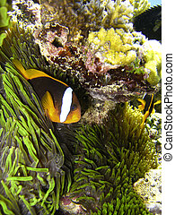 Nemo Fish on the Great Barrier Reef