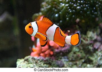 Amphiprion immagini di archivi di fotografici for Immagini pesce pagliaccio