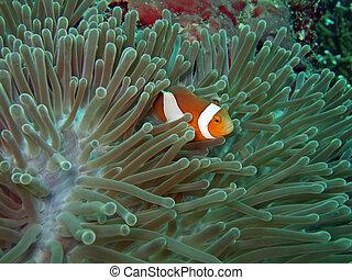 nemoish, anemone