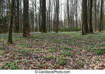 nemorosa, printemps, anémone, forêt, lot, fleurs blanches, /