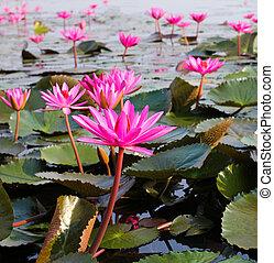 nenúfar, udonthani, lago, tailandia