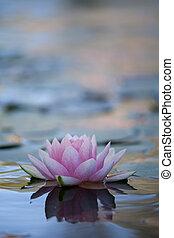 beautiful nenufar floating on a lake