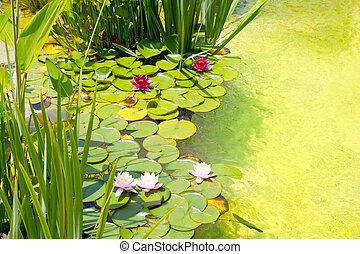 nenufar, vatten liljor, på, grönt tåra, damm