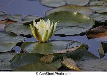 nenuphar flower