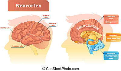 Neocortex vector illustration. Labeled diagram with location and functions. Frontal, parietal, occipital and temporal lobe scheme for human, mammal and reptilian brain.
