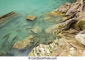 Neolissochilus stracheyi fish in Level 2 of Erawan Waterfall, Kanchanaburi Province, Thailand