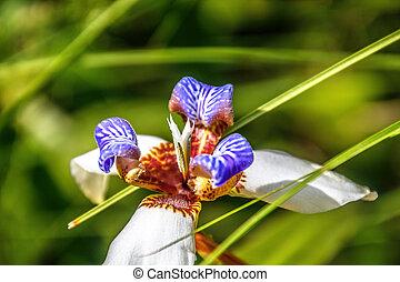 Neomarica northiana, walking iris in garden