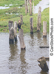 Neotropic Cormorants on the lake - Neotropic Cormorant...