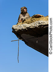 Nepal earthquake 2015 - Macaque on a destroyed building...