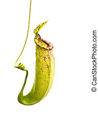Nepenthes a carnivorous plant on white background