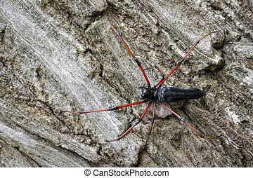 (nephila, orb-weaver, kuhlii), kép, pók, fa., fekete, insect., állat