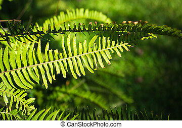 Nephrolepis exaltata (The Sword Fern) - a species of fern in the family Lomariopsidaceae in a wild summer forest